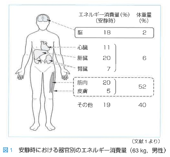 安静時における器官別のエネルギー消費量_63男性